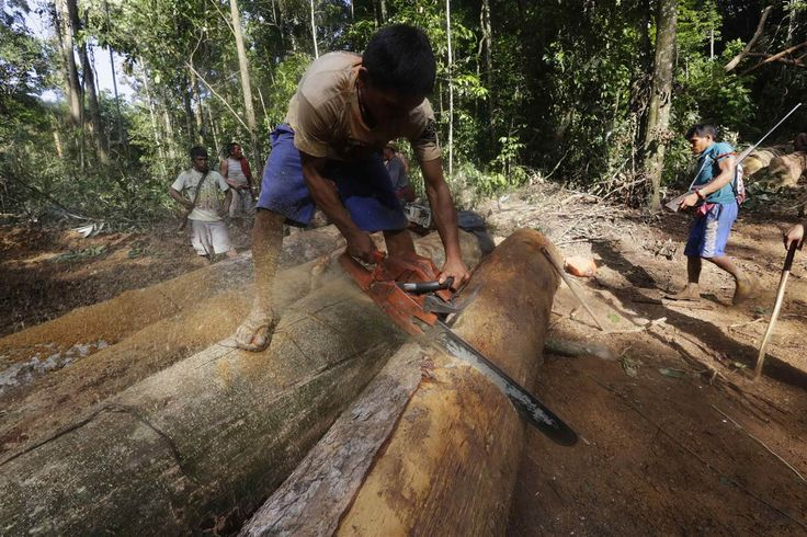 Taking Back the Trees: Amazonian Warriors Combat Loggers - NBC News.com   A Ka'apor Indian warrior uses a chainsaw to ruin one of the logs found during a jungle expedition to expel the loggers from the Alto Turiacu Indian territory.