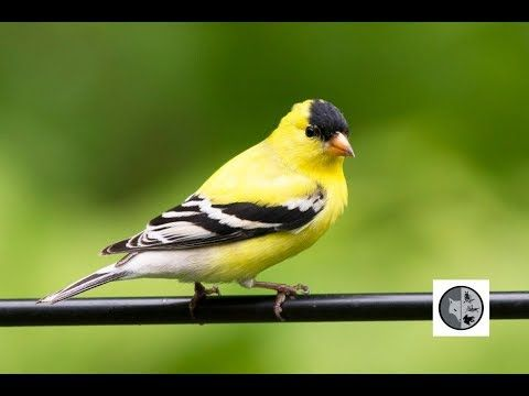 Birds of Quebec: American Goldfinch and Evening Grosbeak