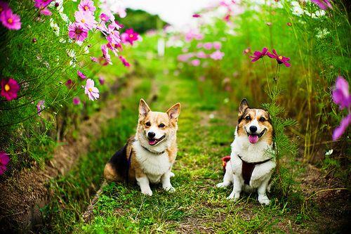 welsh corgi: Corgis, Photos, Welsh Corgi, Animals, Dogs, Corgi Dog, Pets, Posts, Flower