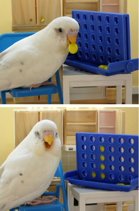 I love this budgie! So cute!