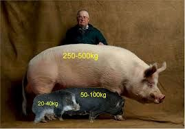 Teacup Potbelly Pigs for Sale