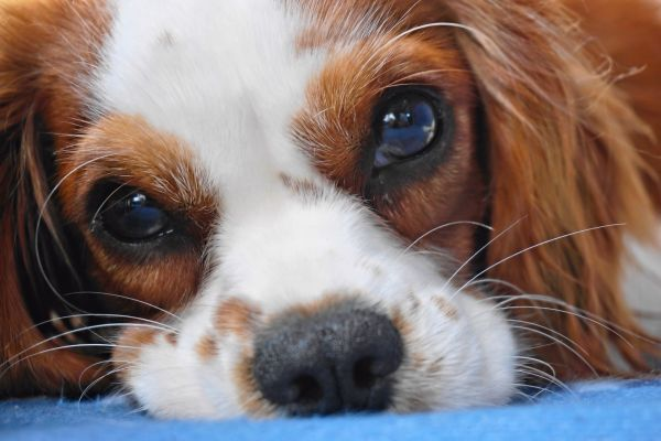 What Is A Cavalier King Charles Spaniel Lifespan The Life Expectancy Of This Popular Breed Cavalier King Charles King Charles Spaniel Best Small Dogs