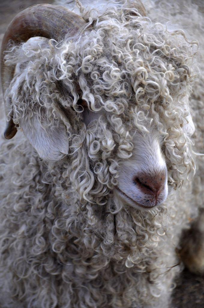Angora goat (Antler Hill Village Farm)