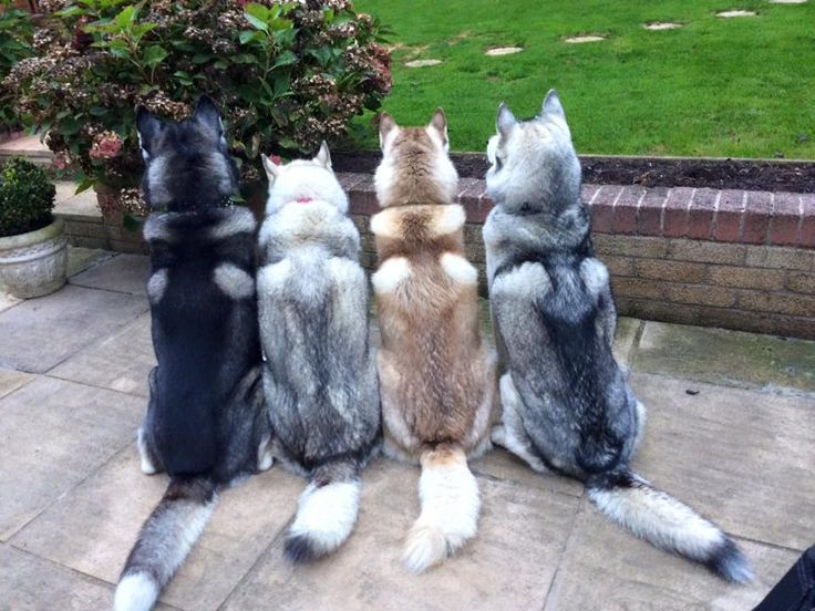 """The awesome Siberian Husky pack belonging to talented trainer Karen Clifford.  Love their """"angel wings!"""""""