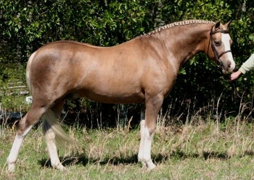 57 best welsh cobs images on Pinterest Welsh pony, Cob and Mountain - best of welsh pony coloring pages