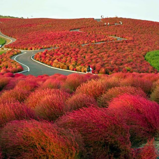 Places to see: An Endless Flower Paradise Hitachi Seaside, Japan.