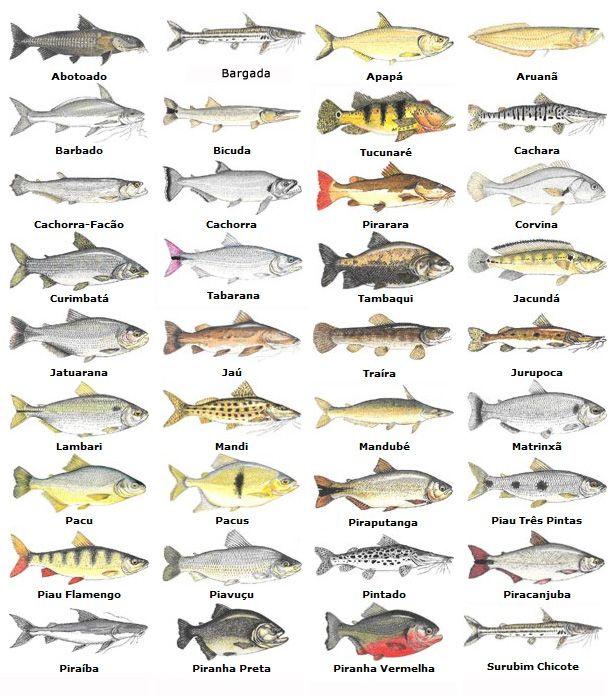 Conexão Pesca: Peixes de água doce no Brasil!