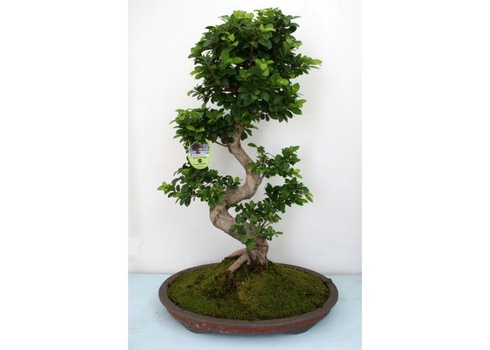 Bonsai s shape now available in showroom. One of the best choice of the period.