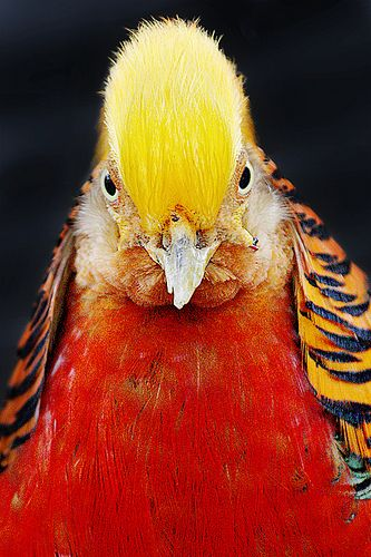 Golden Pheasant, Taronga Zoo, Sydney, Australia | Ewen Charlton
