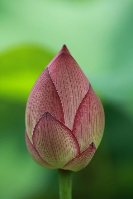 ~~Slim Lotus Bud by Apricot Cafe~~