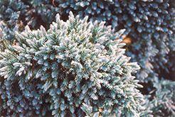 Blue Star Juniper (Juniperus squamata 'Blue Star') at Stein Gardens & Gifts