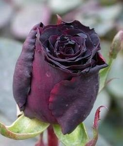 China Rare Black Rose Flower