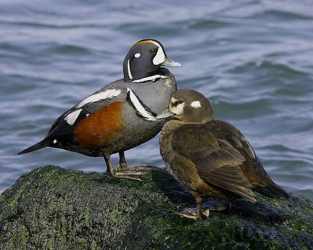 34 best images about Beautiful Harlequin Duck Photography ... - photo#26