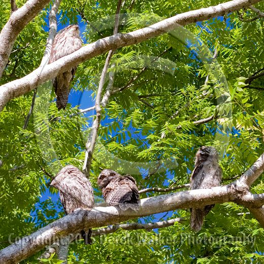 A family of Tawny Frogmounts in Caboolture, Queensland, Australia. This large, big-headed, Australian nocturnal bird is found throughout the entire continent, and is often confused as an owl. For image licensing enquiries, please feel welcome to contact me at derekwalker73@bigpond.com  Cheers :)