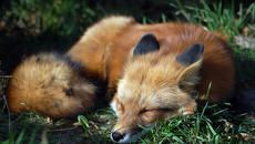 14 Fascinating Facts About Foxes