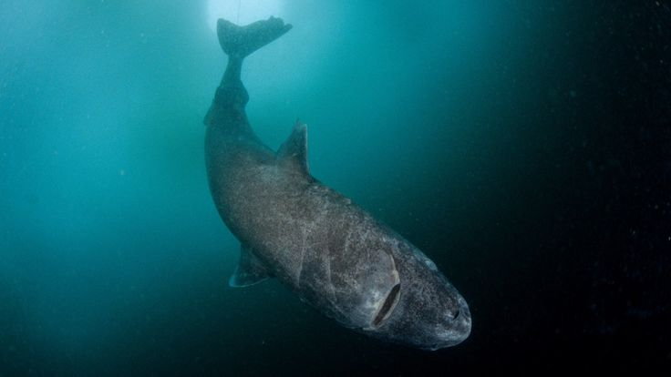 cool The Strange and Gruesome Story of the Greenland Shark, the Longest-Living Vertebrate on Earth