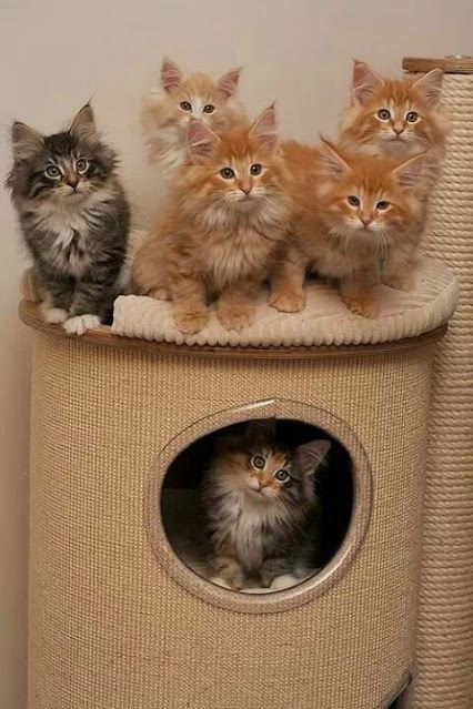 """Looking at the eyes (and fluffiness), I am pretty sure these are Norwegian Forest Kittens. See that little calico in the kitty condo? I want to find her and name her """"Freya"""". (""""Cat of the Day ♥"""")"""