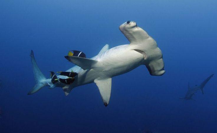 Under Construction #sharkschool | HOW DEEP! UNDER WATER ADVENTURE | Pinterest | Shark, Hammerhead shark and Largest shark