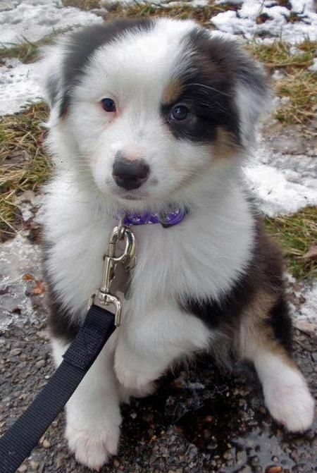 Australian Shepherd puppy - ready to go to work!