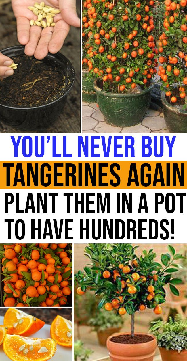 Plant Tangerines at Dwelling By Your Personal?