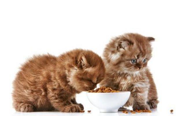 Requisiti indispensabili degli alimenti secchi per gatti In questo articolo vedremo vantaggi e svantaggi dell'alimentazione secca per gatti e soprattutto quali sono le caratteristiche fondamentali che deve avere un cibo secco per soddisfare le esigenze nutr #gatto #alimentazione