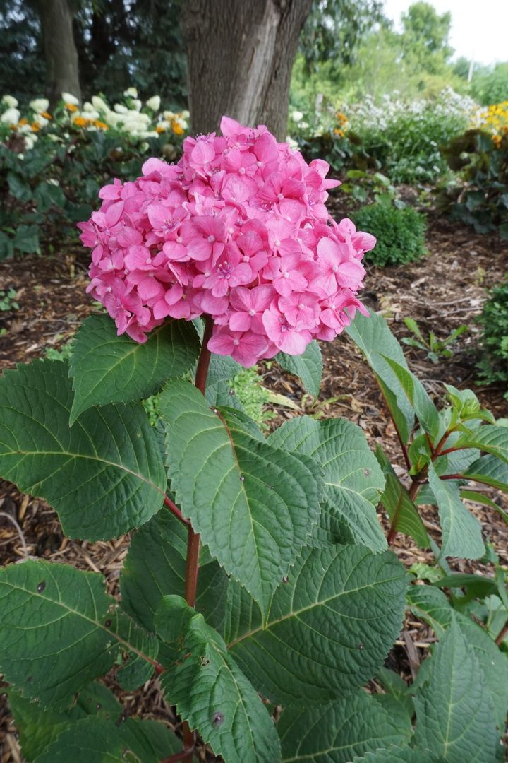 Bloomstruck hydrangea..dark green leaves with red stems..