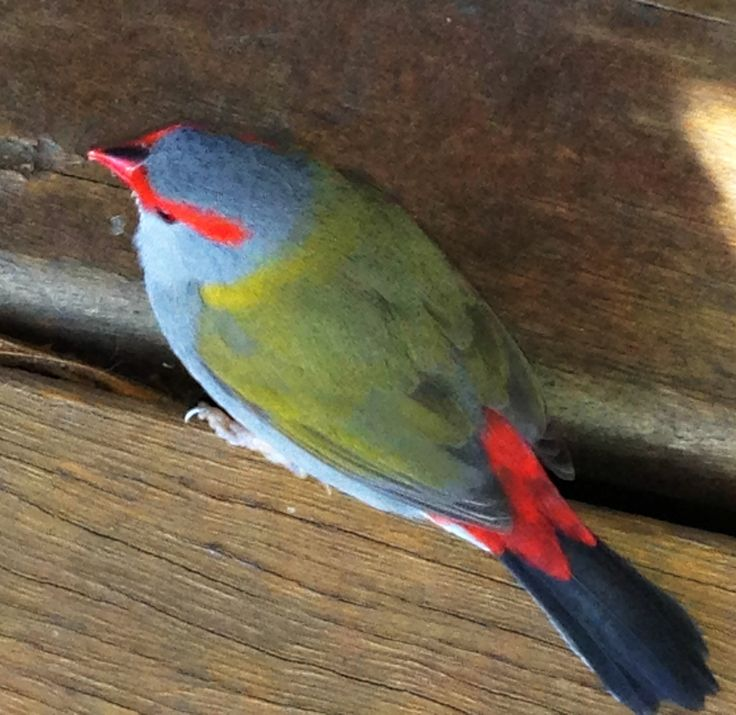 Rainforest Finch.