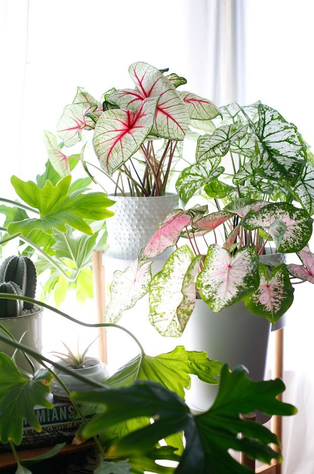 Caladium-Plant-Indoors..the colours of these plants make us want to dive in and paint walls in dark greens, misty pinks and bone whites!