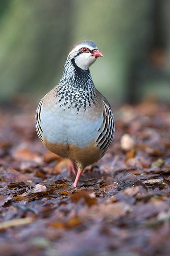 Partridge Photo by Laurent Baumann - My wild side on Flickr