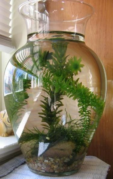25 unique vase fish tank ideas on pinterest vase for for Betta fish bowl ideas