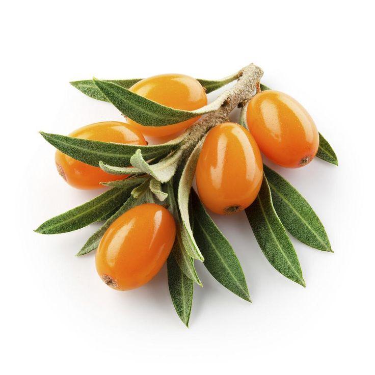 Argousier : récolte, bienfaits, utilisation, l'argousier a tout bon....