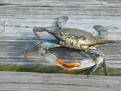 Blue crab main ingredient for she crab soup and crab dip for Blue crab fishing