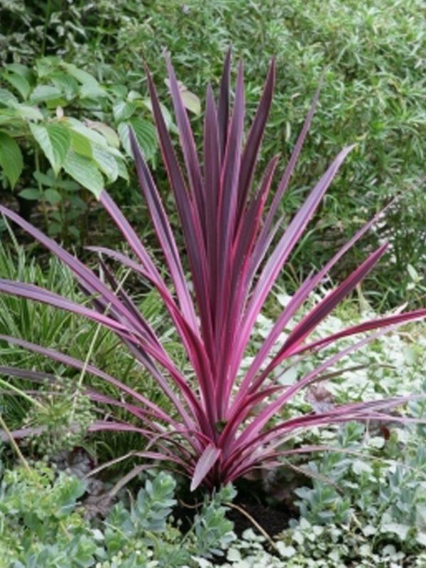 Cordyline Pink Passion Decor Gardenworld Tropical Garden Garden Yard Ideas Backyard Plants