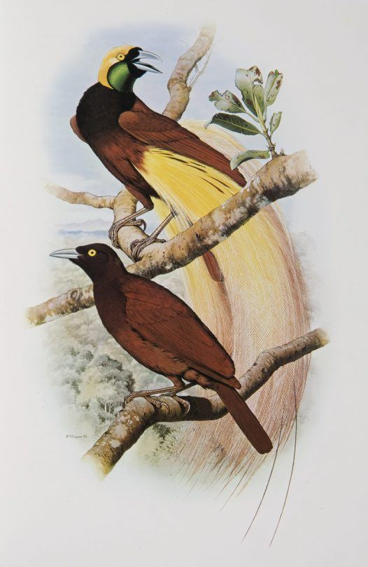 Greater Bird of Paradise from the 'Rituals of Seduction: Birds of Paradise' exhibition -- William T. Cooper