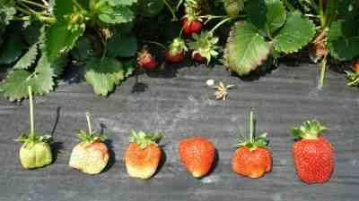 strawberries shown in different stages of ripeness this pic was helpful when I took my little ones to the u-pick strawberry farms today.