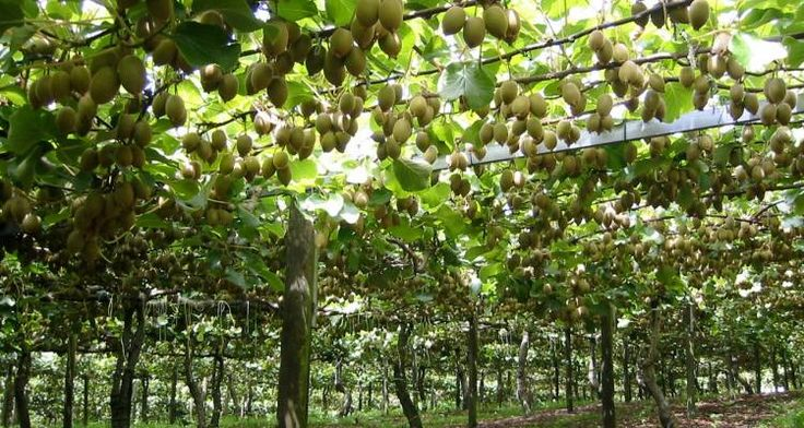 Kiwifruit vines...Take a guided tour of New Zealand and see extraordinary sights.