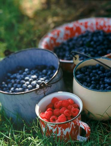 #Berry picking in #Finland #blueberries #raspberries