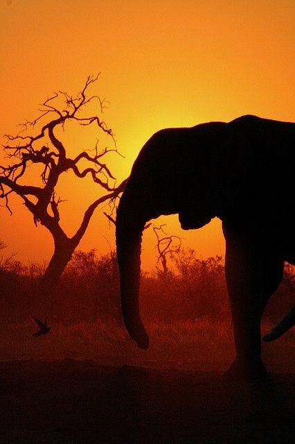 Tegenlicht, het licht komt van achter de olifant. De olifant is daardoor een zwart silhouet geworden.