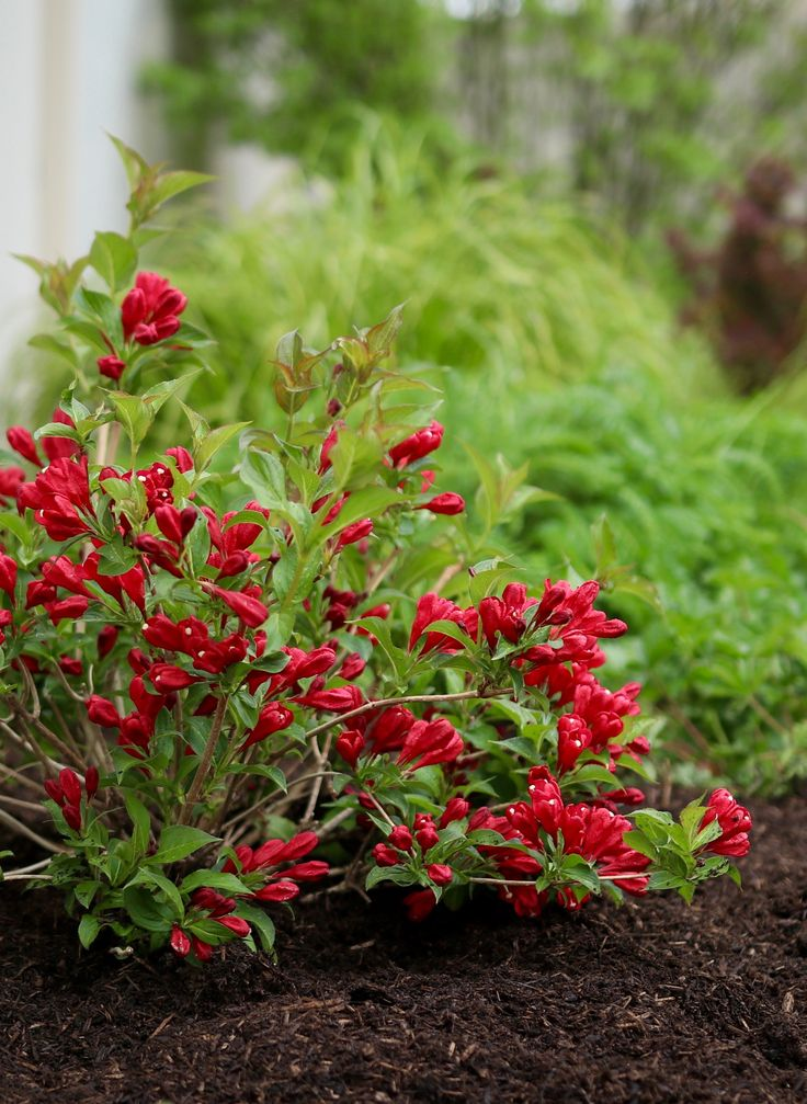 sonic bloom red - reblooming weigela