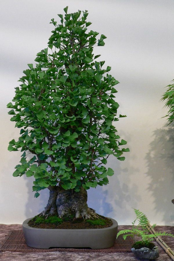 best time of year to prune a ginkgo bonsai. Black Bedroom Furniture Sets. Home Design Ideas
