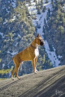 #Boxer beauty