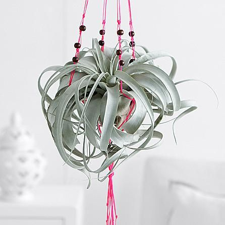 This beautiful, silvery air plant, which thrives on solely air and water, comes with a pretty pink macramé hanger to display anywhere in the home. This unique plant is an incredible conversation piece that makes for a fun and surprising gift, or a lovely addition to your own home this spring.