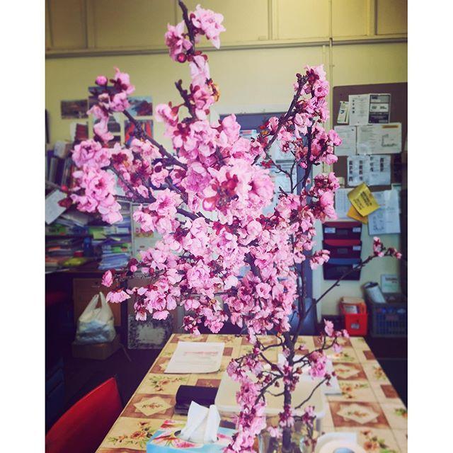 【shinspa37】さんのInstagramをピンしています。 《#spring めぐりゆく、この街も、春を受け入れて、今年もあの花がつぼみを開く🌸✨#australia #staffroom #sakura #cherryblossom #職員室 #桜 #オーストラリア #いきものがかり #春 #初日 #september #hellospring #bloom #pink》