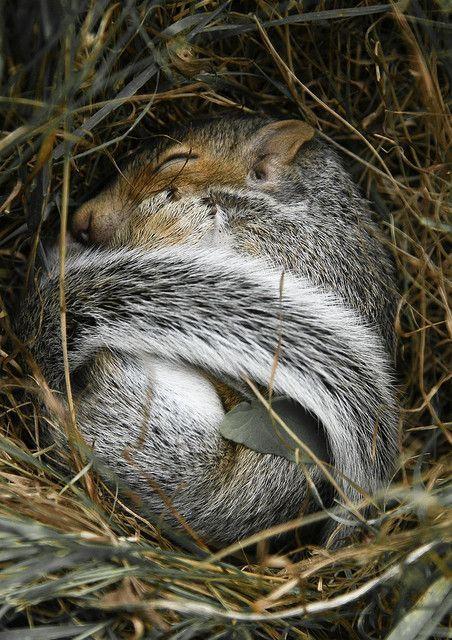 "griffstream: "" spiritofthewoodlands: "" Baby Squirrel Sleeping  by Betweenland on Flickr "" in a nest… """
