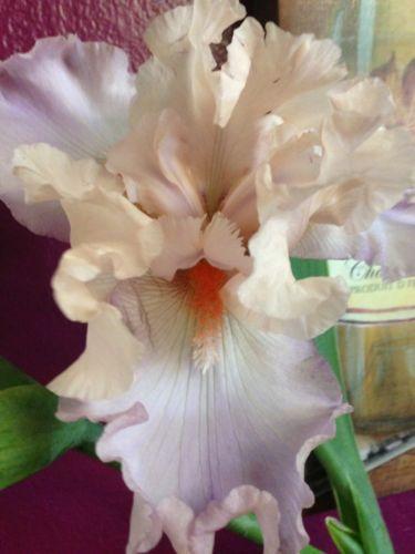CELEBRATION-SONG-Absolutely-lovely-ruffled-tall-bearded-iris-rhizome-rhizomes