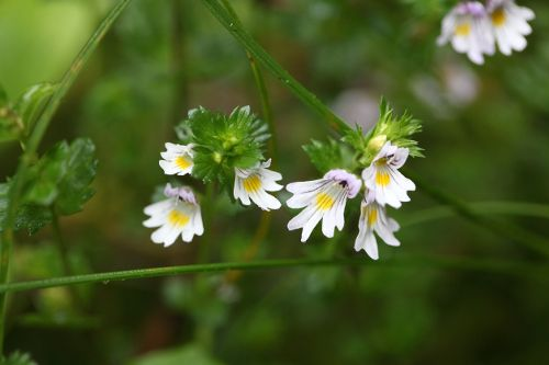 When it comes to treating eye conditions, homeopathic euphrasia is considered to be one of the better remedies available.