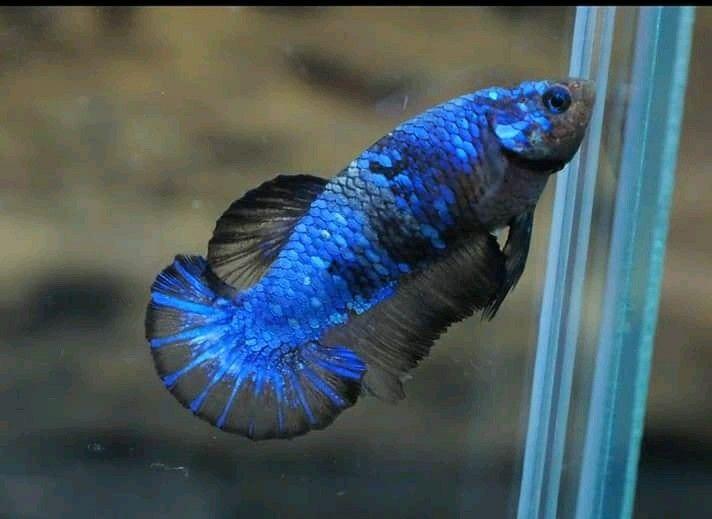 Ohmpk Blue Avatar Female Ikan Cupang Ikan