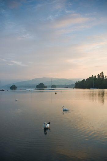 湖水を泳ぐ2羽の白鳥。心休まる眺めです。