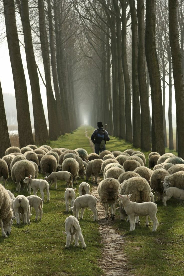 Sheep following their shepherd on a trail through the forest.