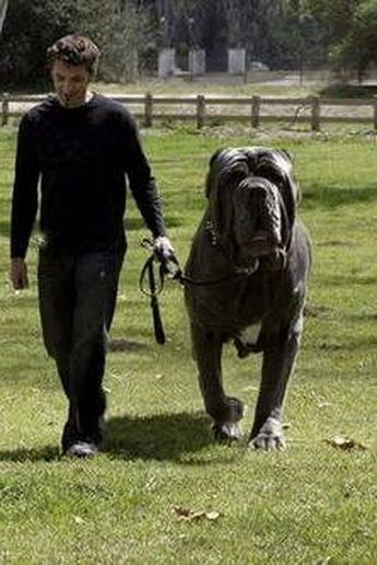Hercules, the English Mastiff weighing in at 282 pounds! - Imgur